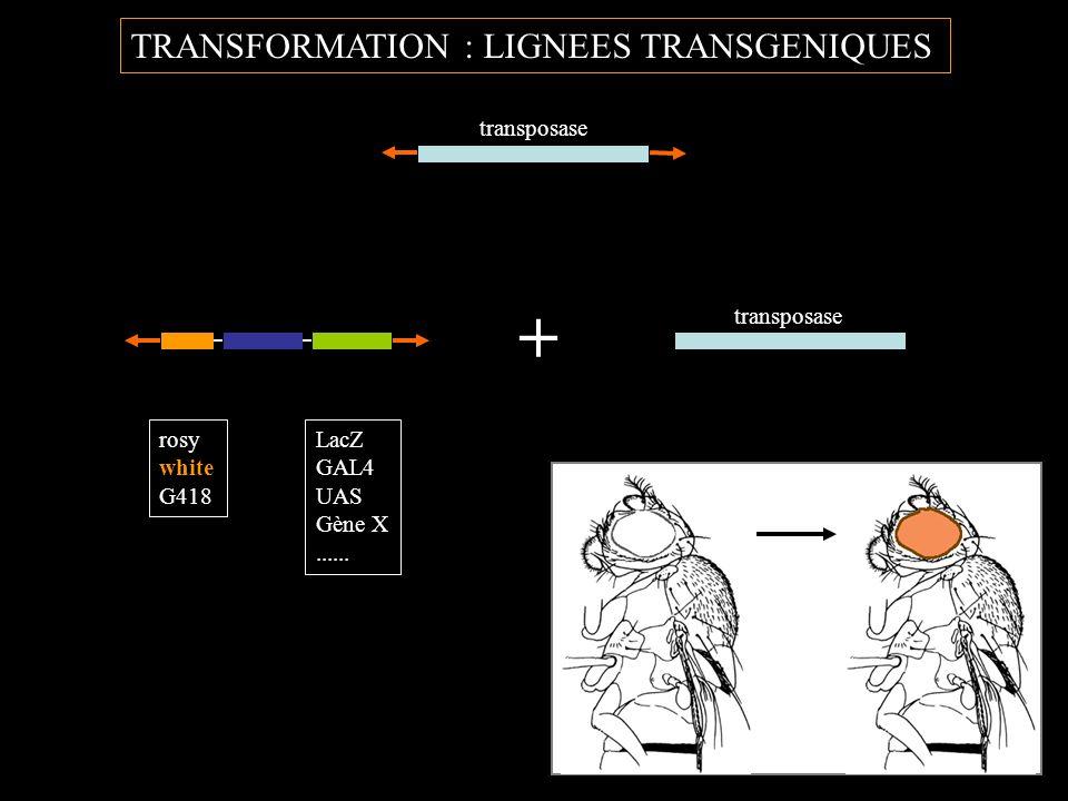 TRANSFORMATION : LIGNEES TRANSGENIQUES transposase LacZ GAL4 UAS Gène X...... rosy white G418 + transposase