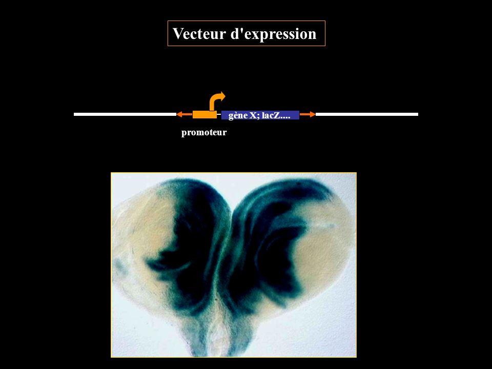 Vecteur d'expression gène X; lacZ.... promoteur
