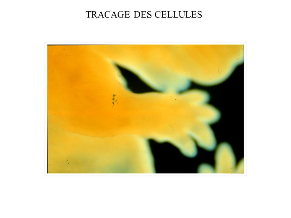 TRACAGE DES CELLULES