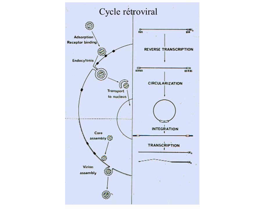 Cycle rétroviral
