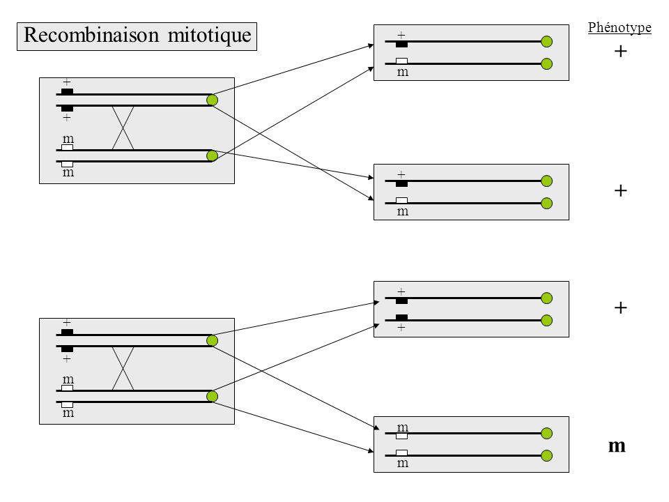 + + m m + + m m + + m m + m + m + m + + Phénotype Recombinaison mitotique