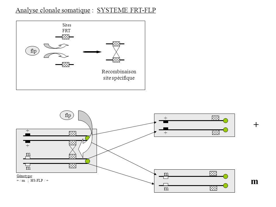 Analyse clonale somatique : SYSTEME FRT-FLP flp Sites FRT Recombinaison site spécifique + + m m + + m m m + flp Génotype: + / m ; HS-FLP / +
