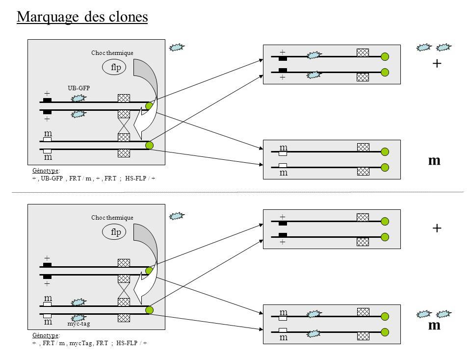 + + m m + + m m m + flp Marquage des clones : négatif (GFP) UB-GFP Choc thermique Génotype: +, UB-GFP, FRT / m, +, FRT ; HS-FLP / + Clones jumeaux (« twin-spot »