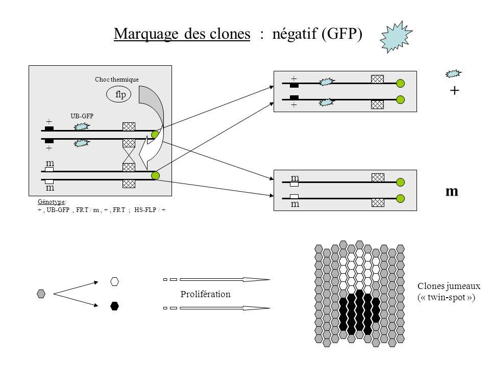 + + m m + + m m m + flp Marquage des clones : négatif (GFP) UB-GFP Choc thermique Génotype: +, UB-GFP, FRT / m, +, FRT ; HS-FLP / + Clones jumeaux («