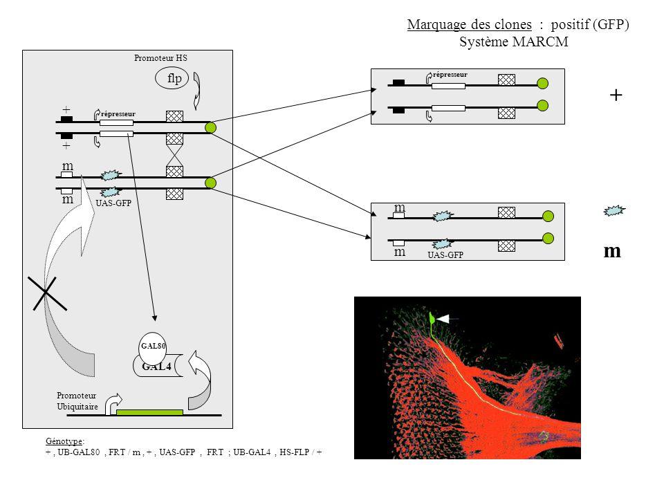 + + m m m + flp Marquage des clones : positif (GFP) Système MARCM UAS-GFP Promoteur Ubiquitaire GAL4 Génotype: +, UB-GAL80, FRT / m, +, UAS-GFP, FRT ;