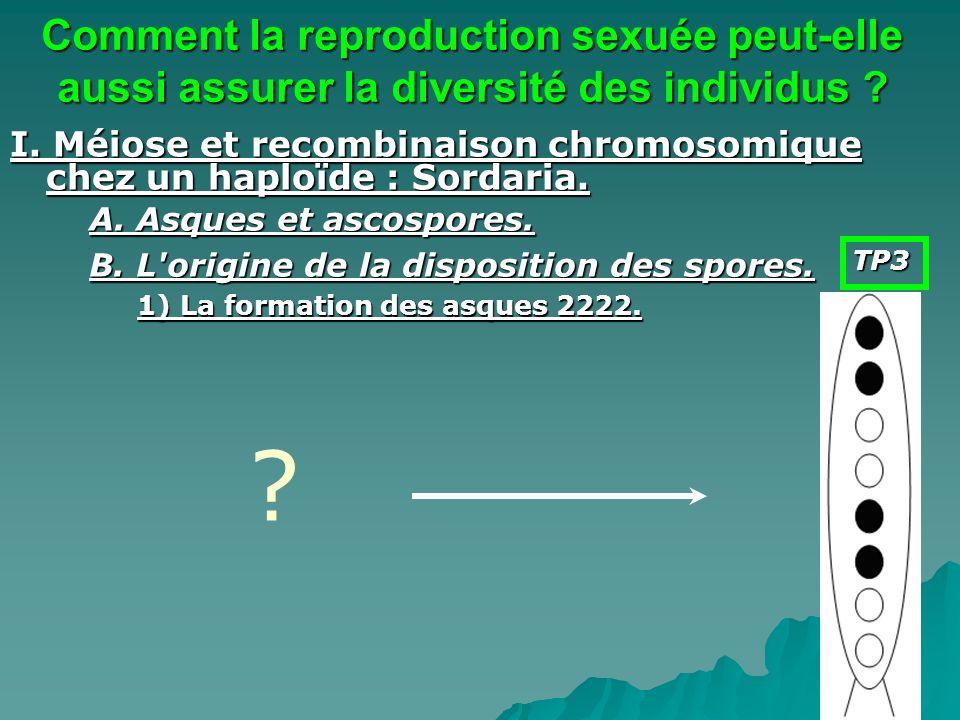 I. Méiose et recombinaison chromosomique chez un haploïde : Sordaria. A. Asques et ascospores. B. L'origine de la disposition des spores. 1) La format