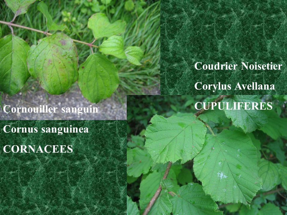 Cornouiller sanguin Cornus sanguinea CORNACEES Coudrier Noisetier Corylus Avellana CUPULIFERES