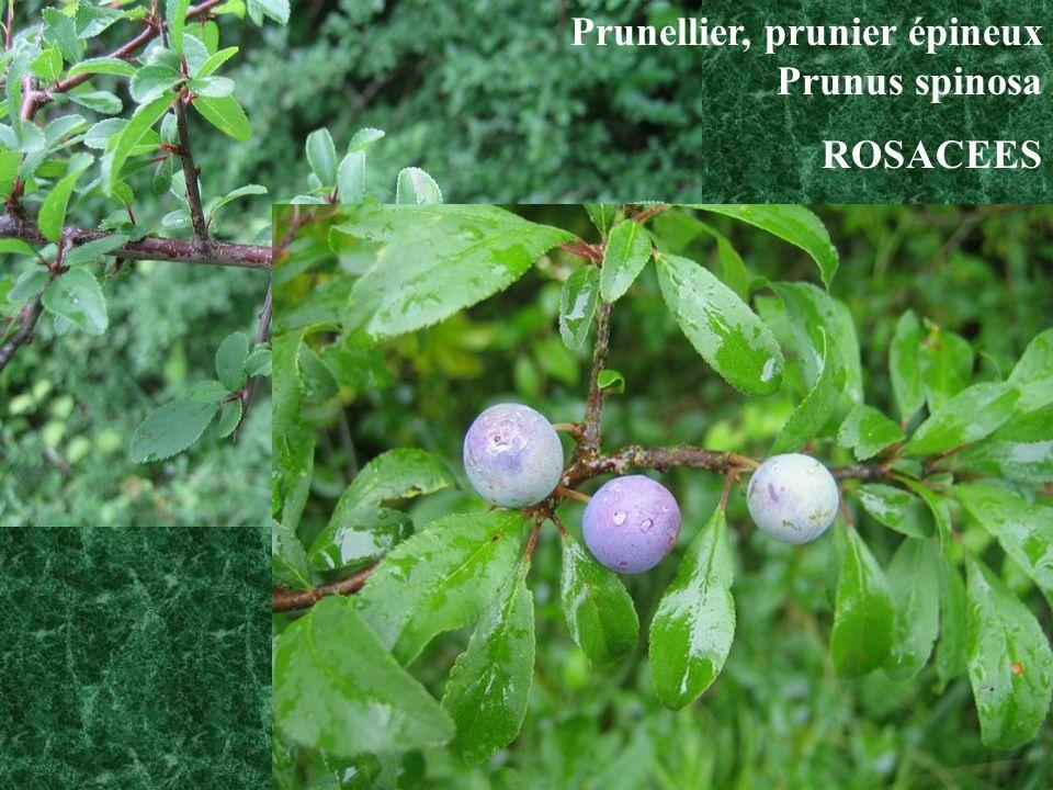 Prunellier, prunier épineux Prunus spinosa ROSACEES