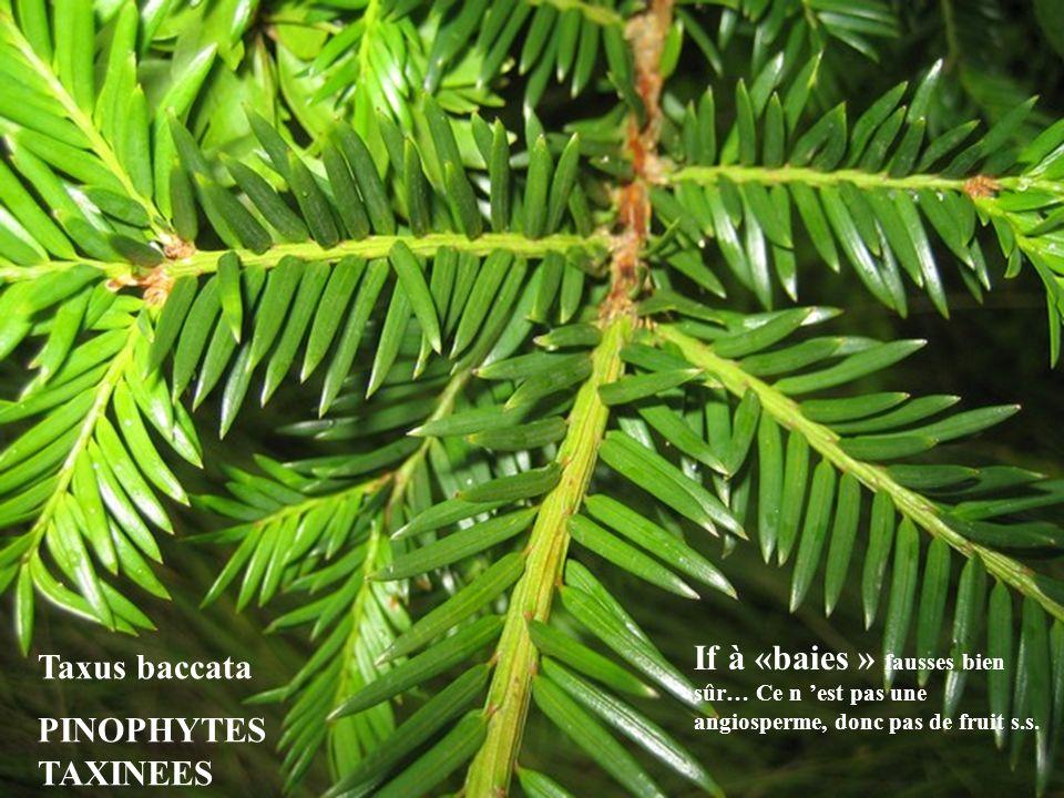 Taxus baccata PINOPHYTES TAXINEES If à «baies » fausses bien sûr… Ce n est pas une angiosperme, donc pas de fruit s.s.