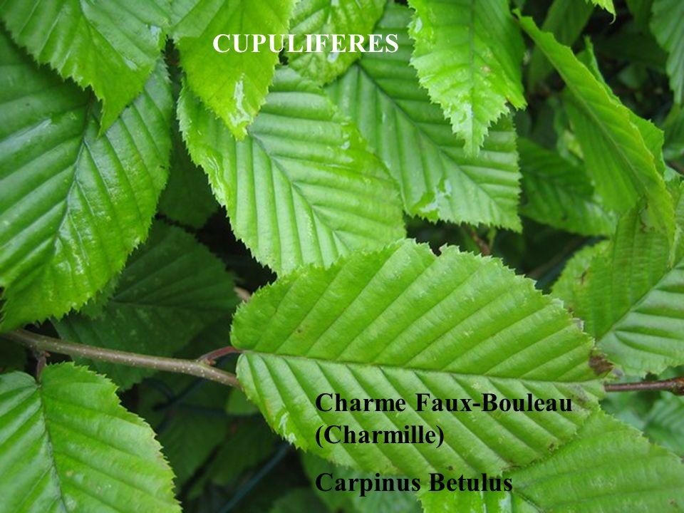 Charme Faux-Bouleau (Charmille) Carpinus Betulus CUPULIFERES