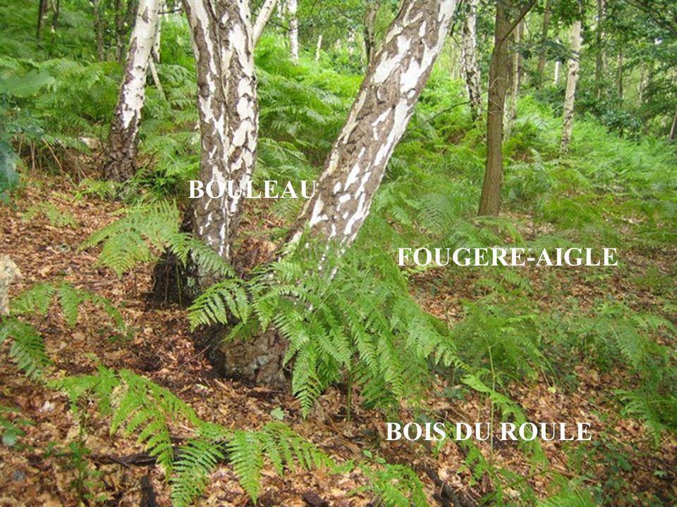 BOIS DU ROULE BOULEAU FOUGERE-AIGLE