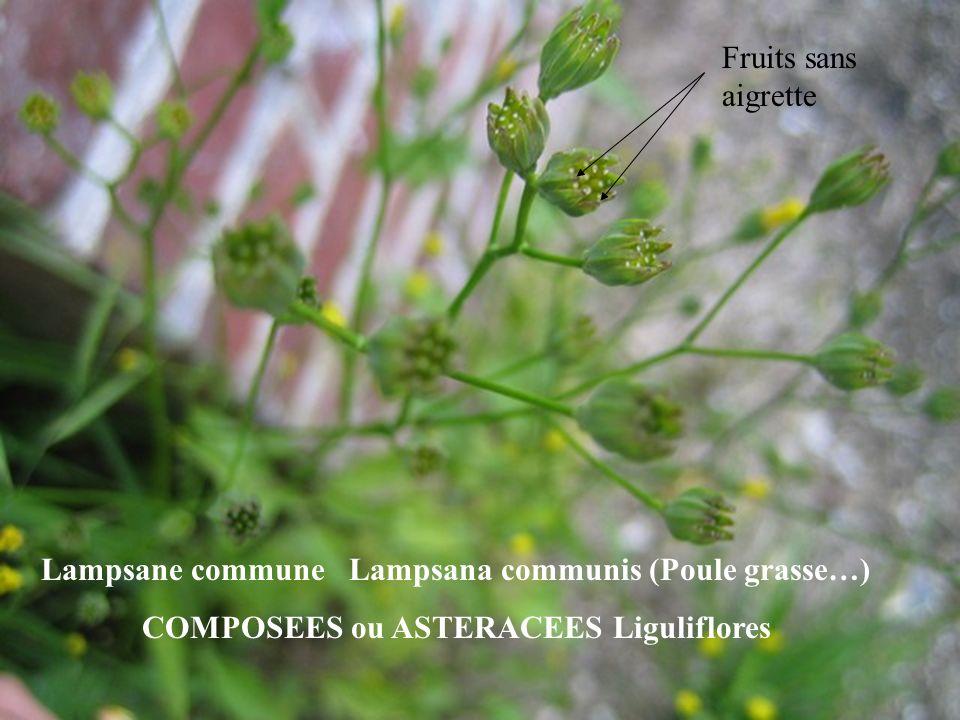 Lampsane commune Lampsana communis (Poule grasse…) COMPOSEES ou ASTERACEES Liguliflores Fruits sans aigrette