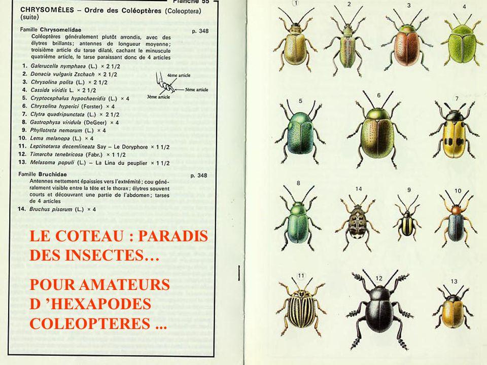 LE COTEAU : PARADIS DES INSECTES… POUR AMATEURS D HEXAPODES COLEOPTERES...