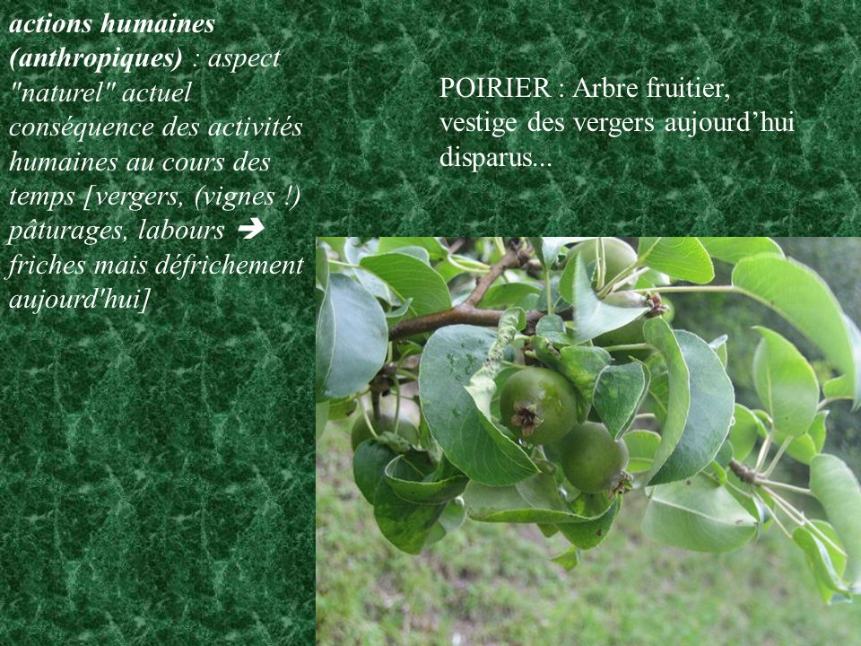 LES ARBUSTES COLONISANT LE COTEAU CALCAIRE Viorne Lantane (en fruit) Viburnum Lantana CAPRIFOLIACEES Viorne Obier Viburnum Opulus CAPRIFOLIACEES
