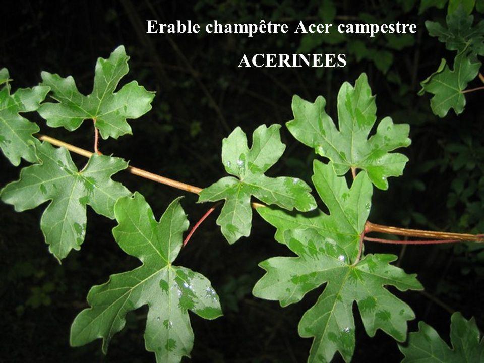 Erable champêtre Acer campestre ACERINEES