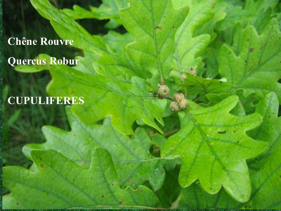 Eglantier Rosa canina ROSACEES Cynorhodon (faux-fruit de léglantier)