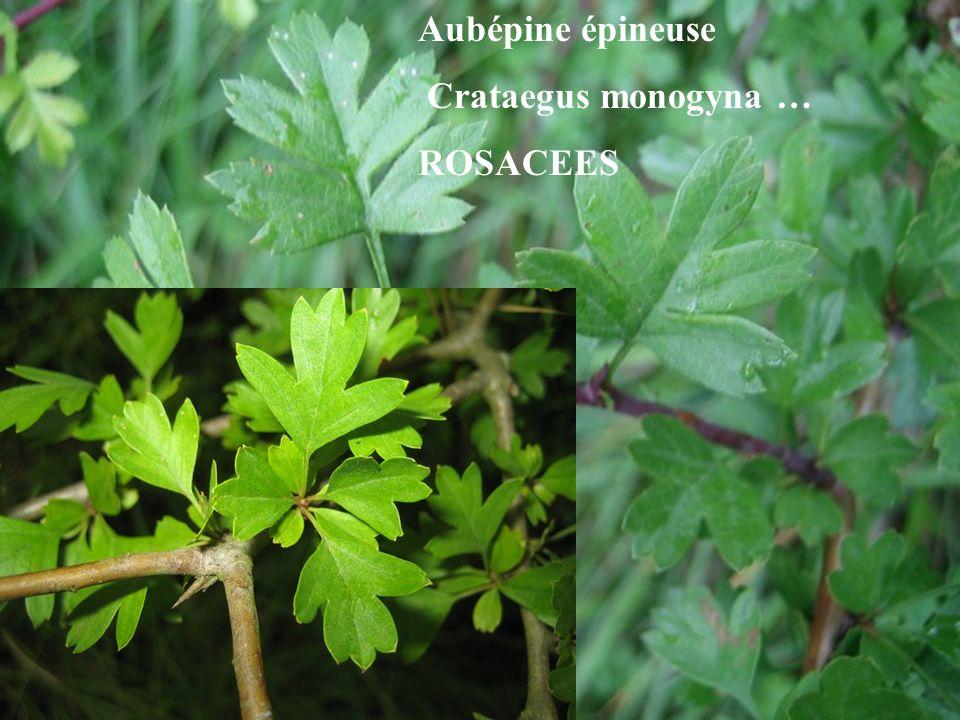 LILIACEES Petit houx Ruscus aculeatus Rameaux aplatis terminés par une épine (cladodes), feuilles réduites à des écailles...
