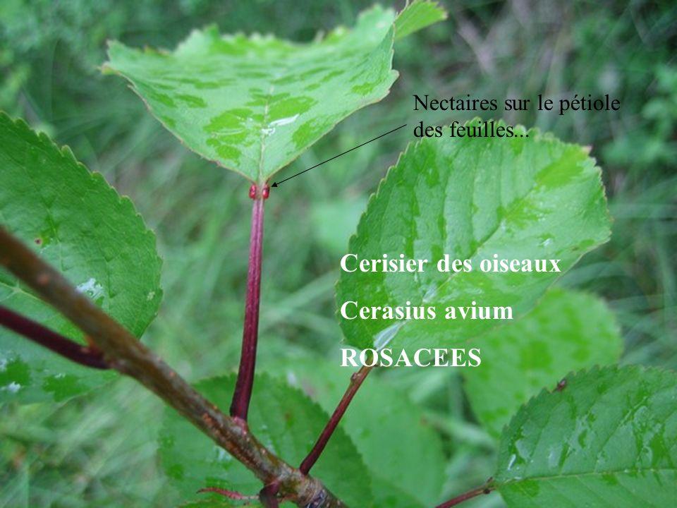 Nectaires sur le pétiole des feuilles... Cerisier des oiseaux Cerasius avium ROSACEES