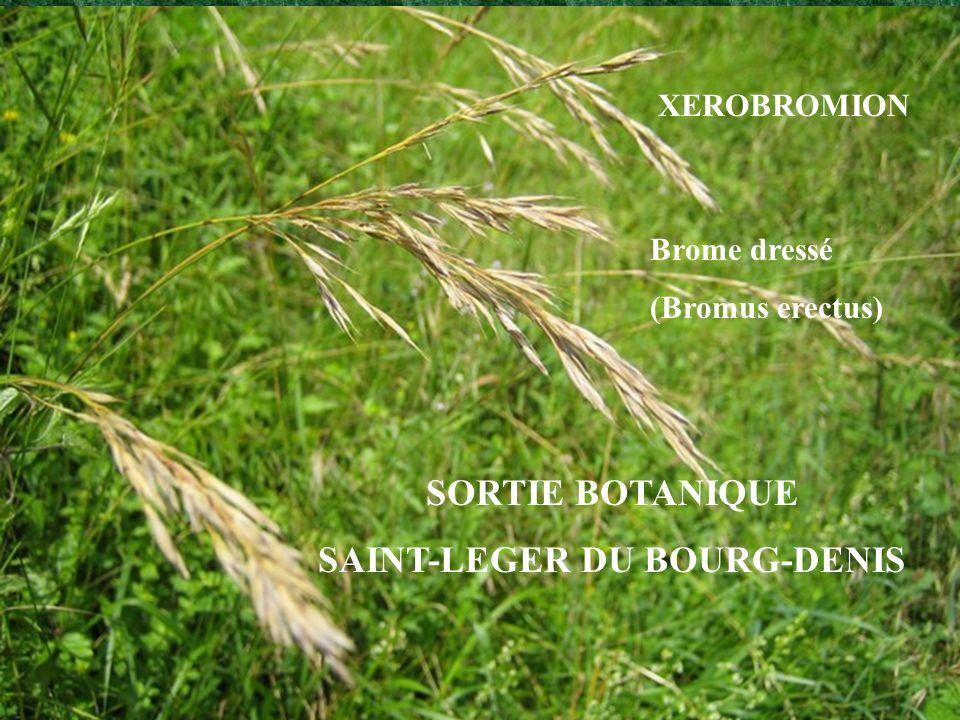 SORTIE BOTANIQUE SAINT-LEGER DU BOURG-DENIS XEROBROMION Brome dressé (Bromus erectus)