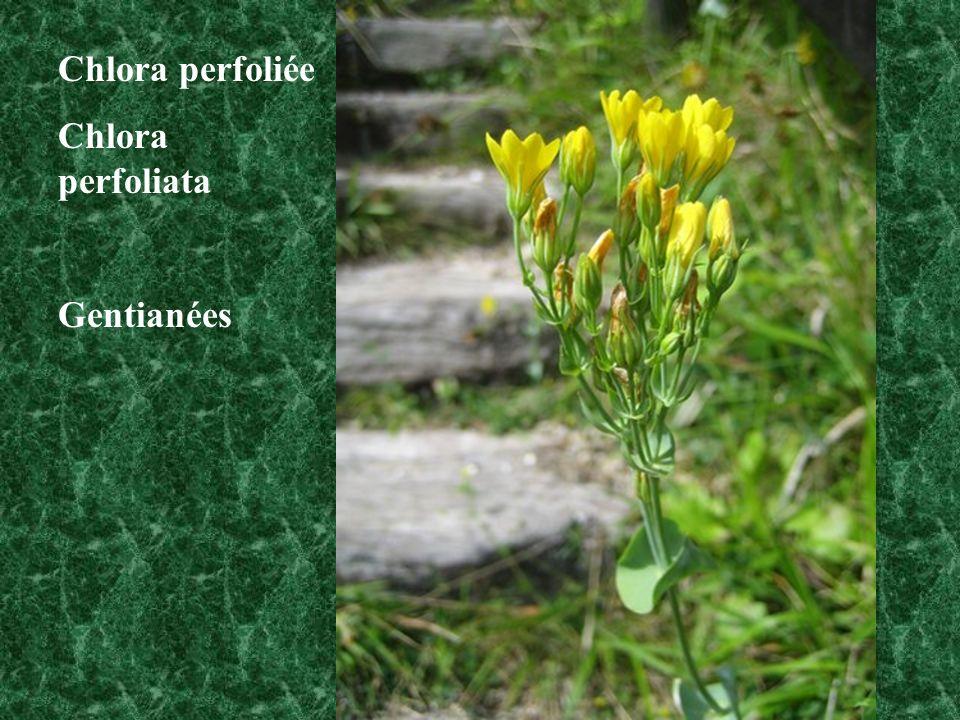 Chlora perfoliée Chlora perfoliata Gentianées