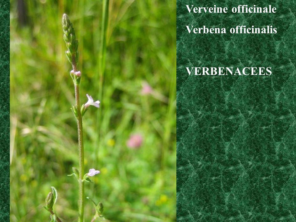 Verveine officinale Verbena officinalis VERBENACEES