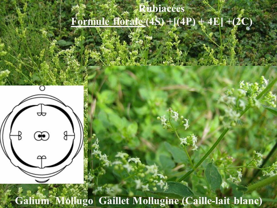Galium Mollugo Gaillet Mollugine (Caille-lait blanc) Rubiacées Formule florale (4S) +[(4P) + 4E] +(2C)