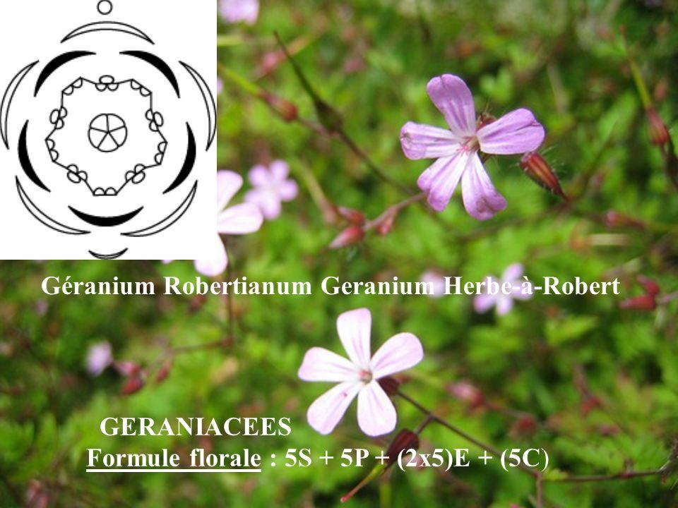 Géranium Robertianum Geranium Herbe-à-Robert GERANIACEES Formule florale : 5S + 5P + (2x5)E + (5C)
