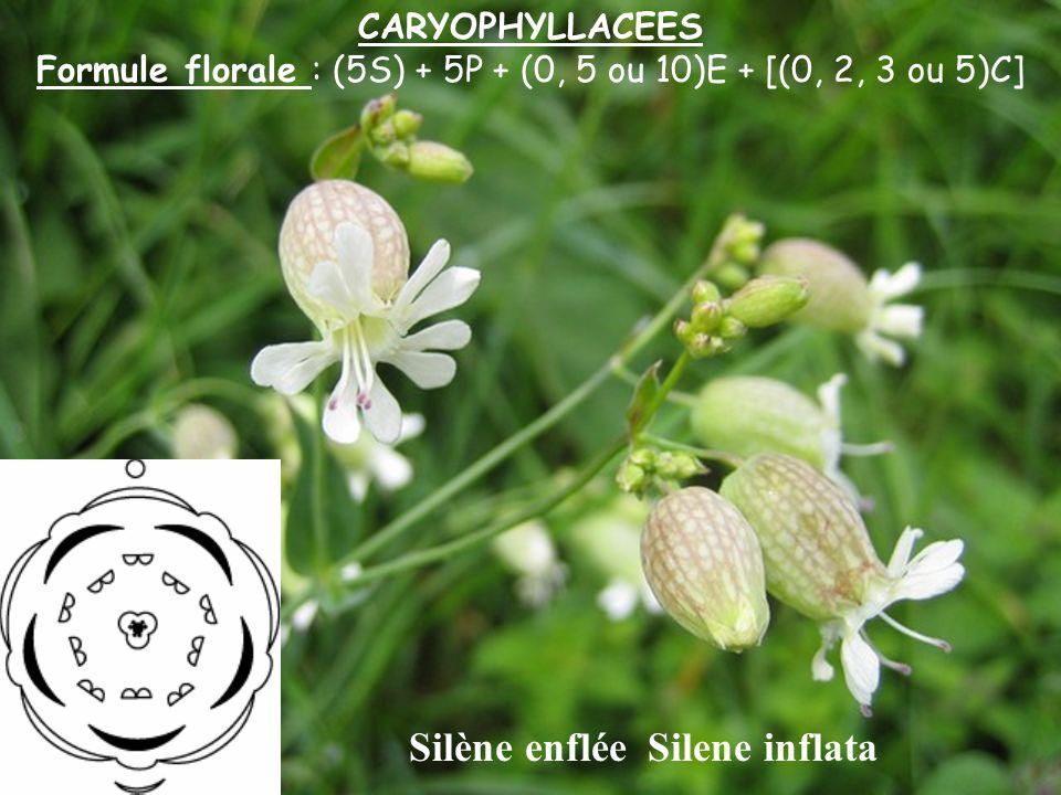 CARYOPHYLLACEES Formule florale : (5S) + 5P + (0, 5 ou 10)E + [(0, 2, 3 ou 5)C] Silène enflée Silene inflata