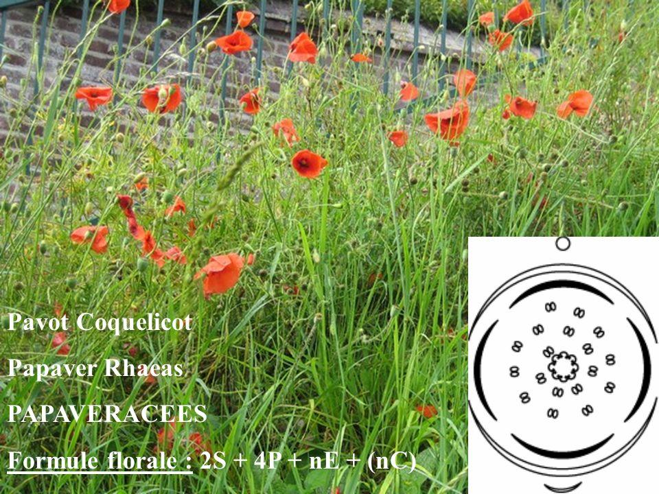 Pavot Coquelicot Papaver Rhaeas PAPAVERACEES Formule florale : 2S + 4P + nE + (nC)
