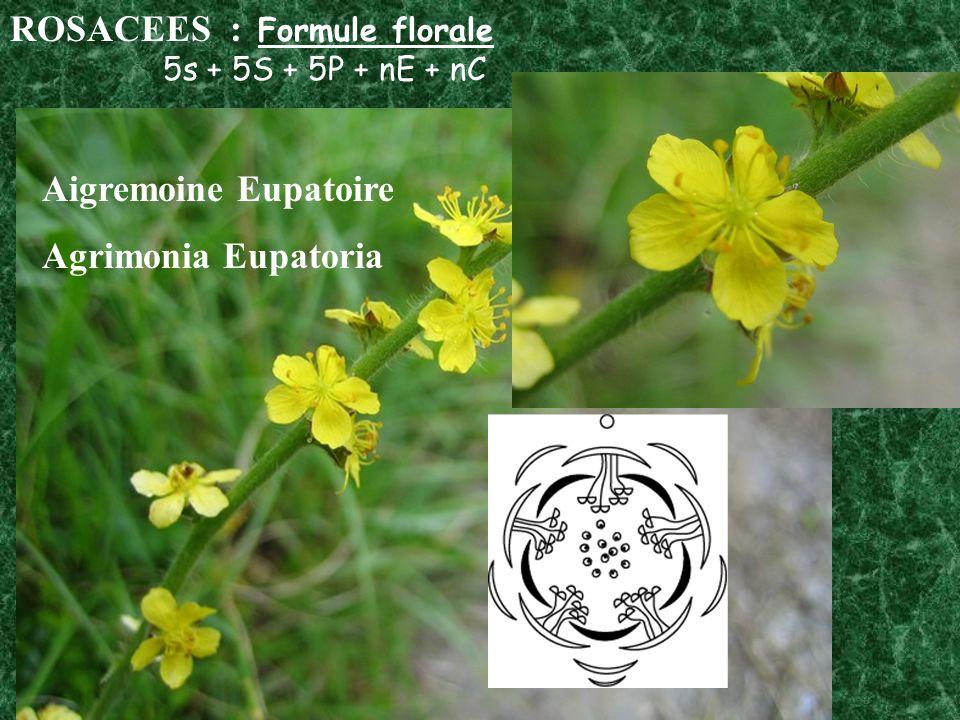 ROSACEES : Formule florale 5s + 5S + 5P + nE + nC Aigremoine Eupatoire Agrimonia Eupatoria