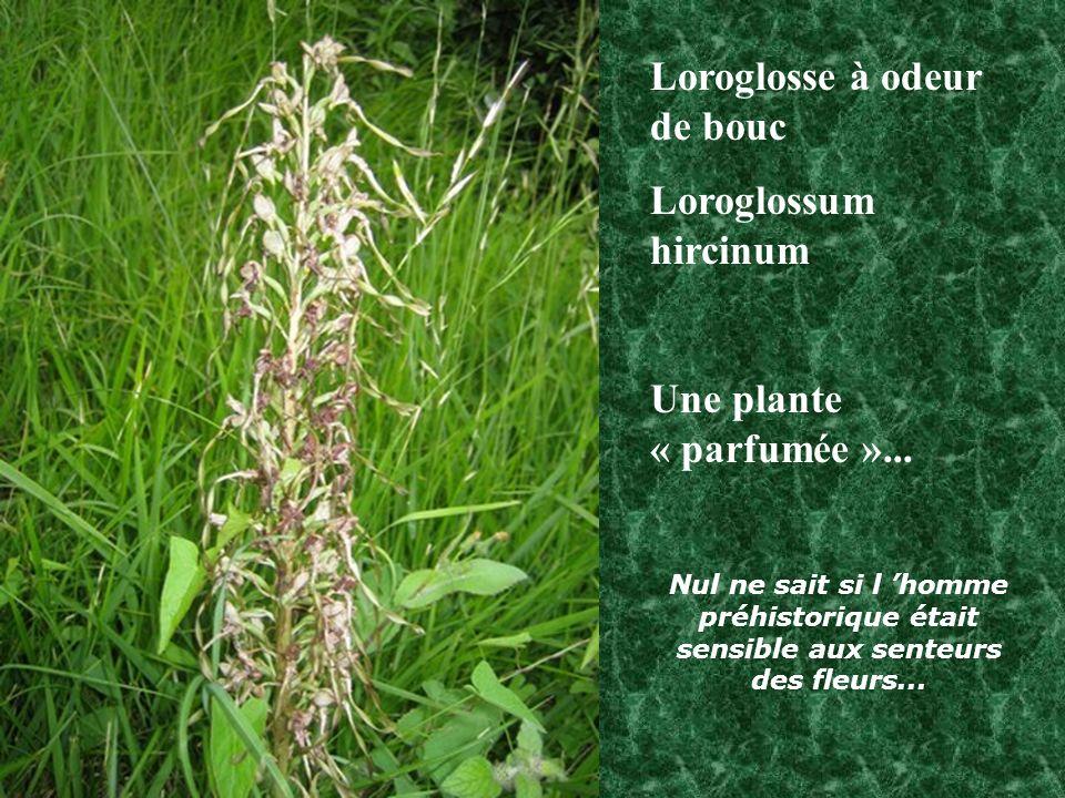 Loroglosse à odeur de bouc Loroglossum hircinum Une plante « parfumée »...