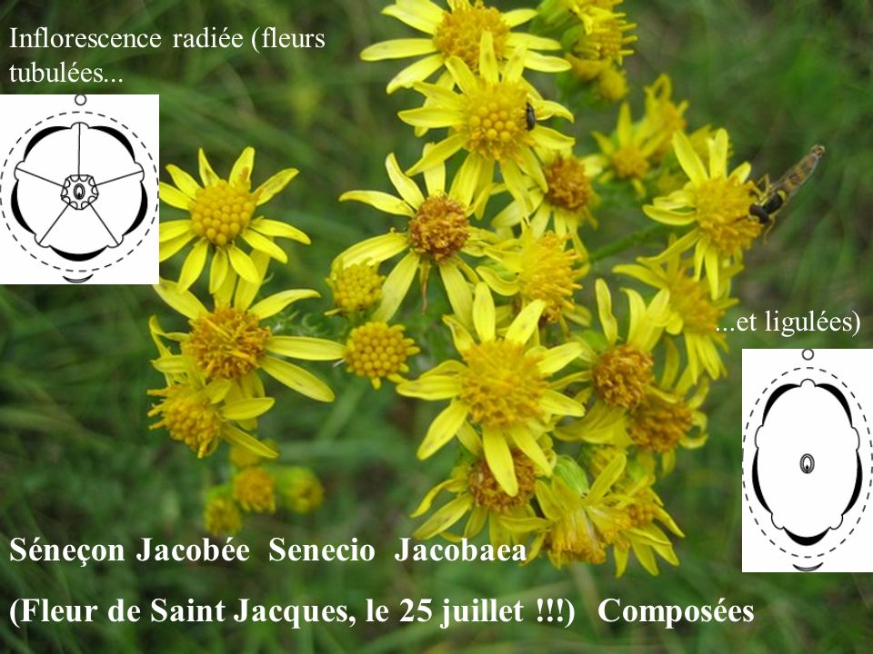 Séneçon Jacobée Senecio Jacobaea (Fleur de Saint Jacques, le 25 juillet !!!) Composées Inflorescence radiée (fleurs tubulées......et ligulées)