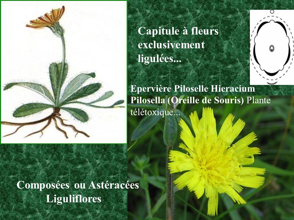 Composées ou Astéracées Liguliflores Capitule à fleurs exclusivement ligulées...