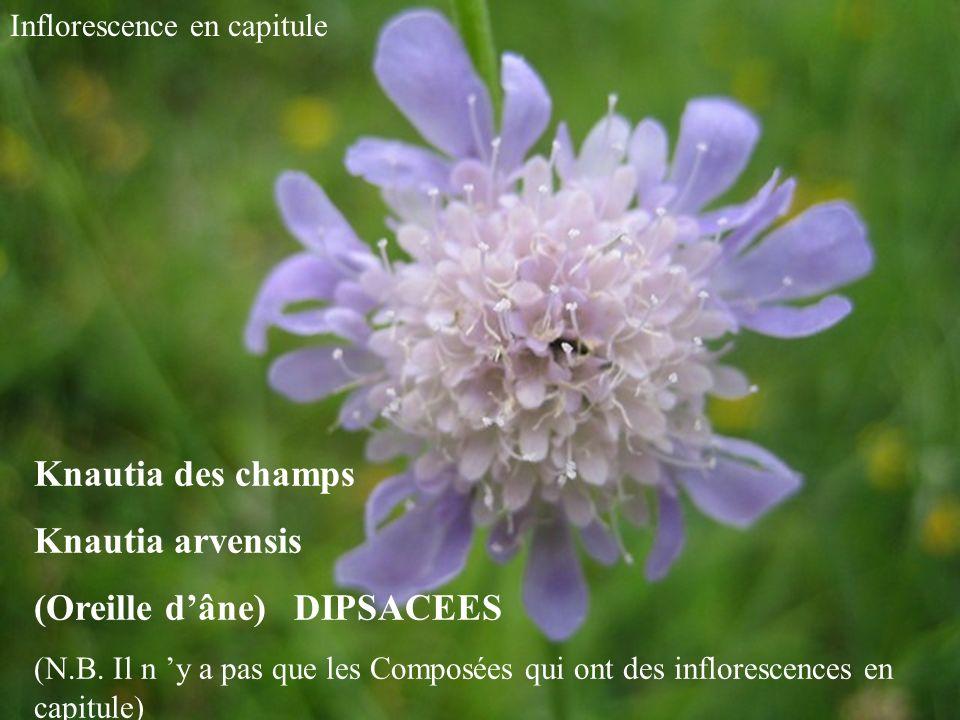 Knautia des champs Knautia arvensis (Oreille dâne) DIPSACEES (N.B.