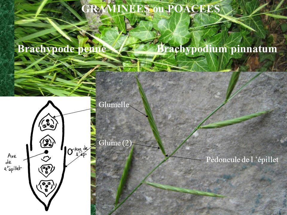 Glumelle Glume (2) Pédoncule de l épillet GRAMINEES ou POACEES Brachypode penné Brachypodium pinnatum