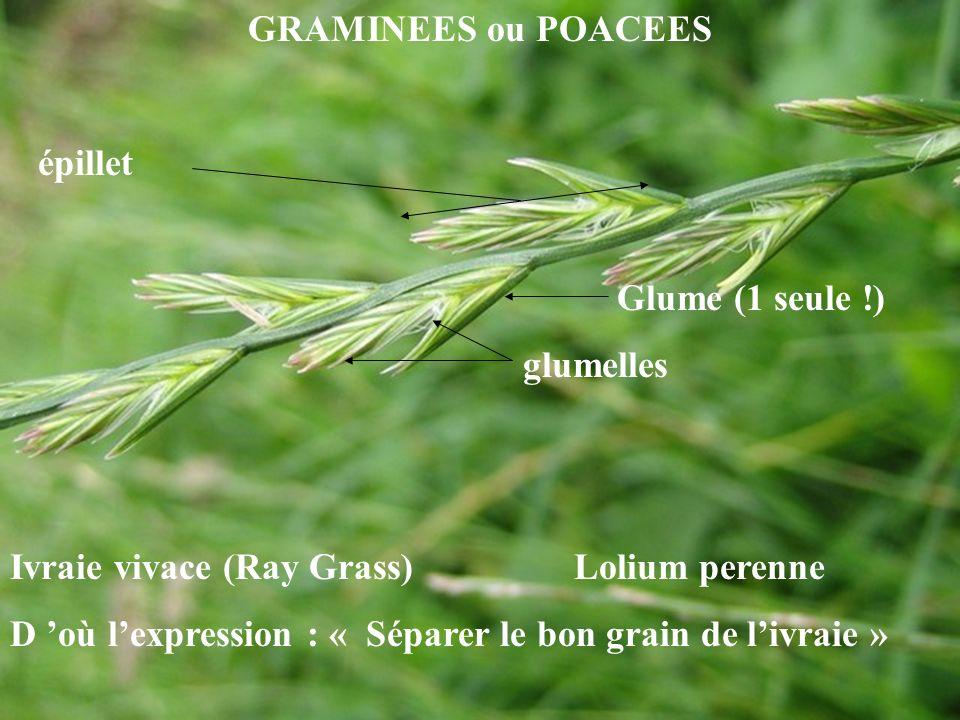 GRAMINEES ou POACEES épillet Glume (1 seule !) glumelles Ivraie vivace (Ray Grass) Lolium perenne D où lexpression : « Séparer le bon grain de livraie »