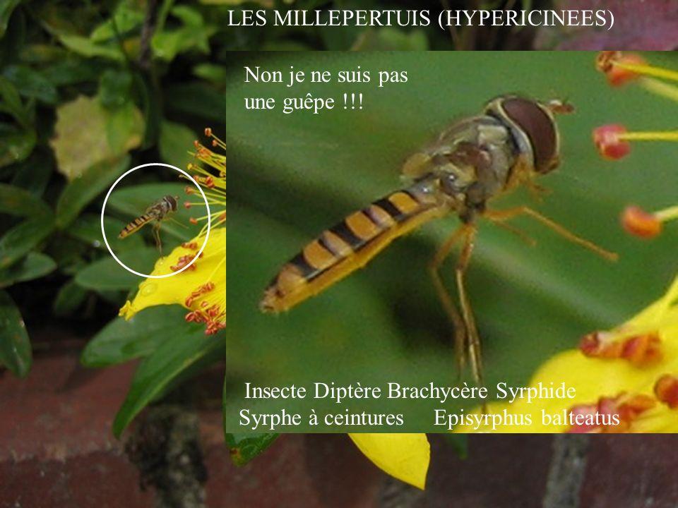 LES MILLEPERTUIS (HYPERICINEES) Insecte Diptère Brachycère Syrphide Syrphe à ceintures Episyrphus balteatus Non je ne suis pas une guêpe !!!
