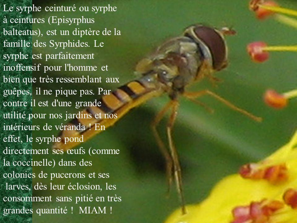 Le syrphe ceinturé ou syrphe à ceintures (Episyrphus balteatus), est un diptère de la famille des Syrphides.