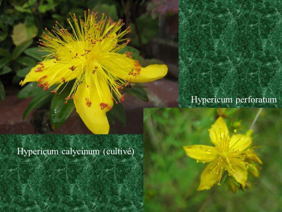 Hypericum calycinum (cultivé) Hypericum perforatum