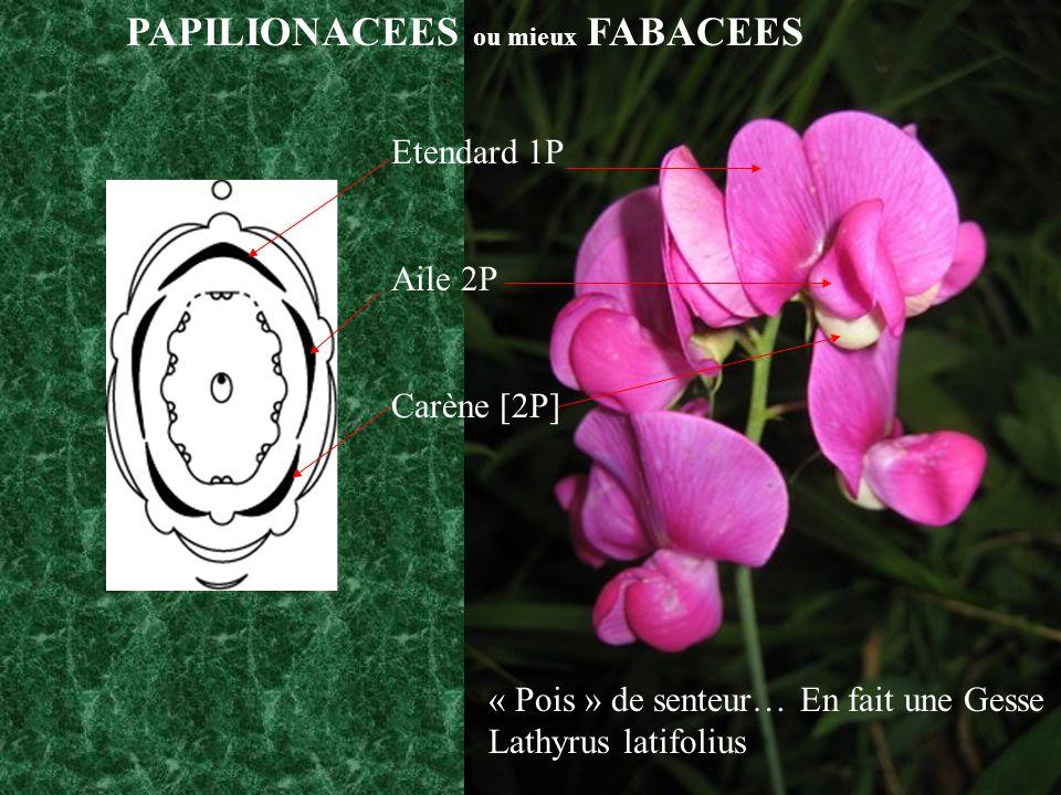 PAPILIONACEES ou mieux FABACEES Etendard 1P Aile 2P Carène [2P] « Pois » de senteur… En fait une Gesse Lathyrus latifolius