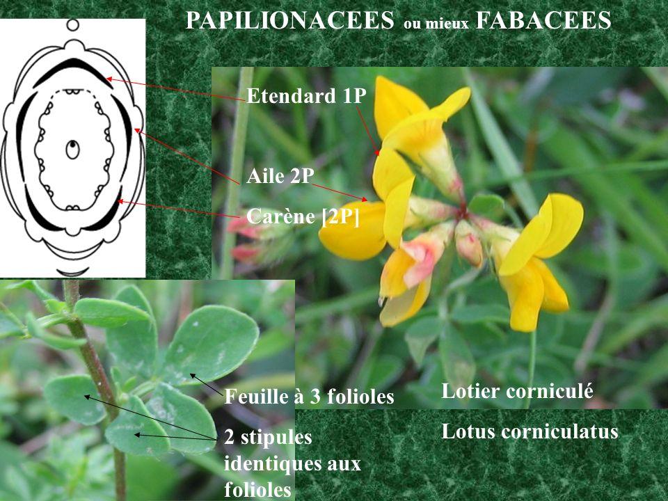 PAPILIONACEES ou mieux FABACEES Etendard 1P Aile 2P Carène [2P] Feuille à 3 folioles 2 stipules identiques aux folioles Lotier corniculé Lotus corniculatus