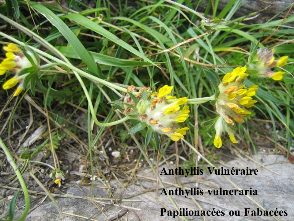 Anthyllis Vulnéraire Anthyllis vulneraria Papilionacées ou Fabacées