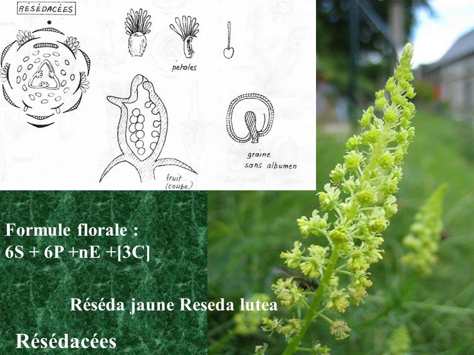 Réséda jaune Reseda lutea Résédacées Formule florale : 6S + 6P +nE +[3C]