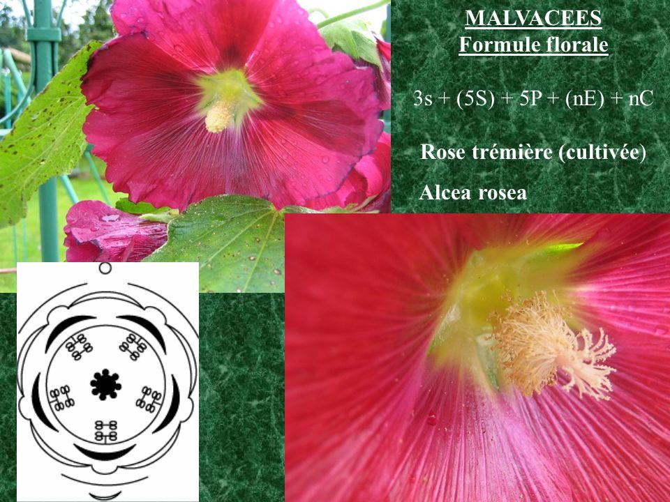 MALVACEES Formule florale 3s + (5S) + 5P + (nE) + nC Rose trémière (cultivée) Alcea rosea