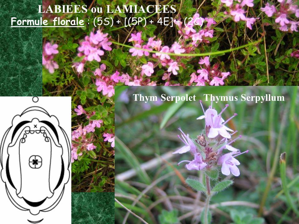 Thym Serpolet Thymus Serpyllum LABIEES ou LAMIACEES Formule florale : (5S) + [(5P) + 4E] + (2C)