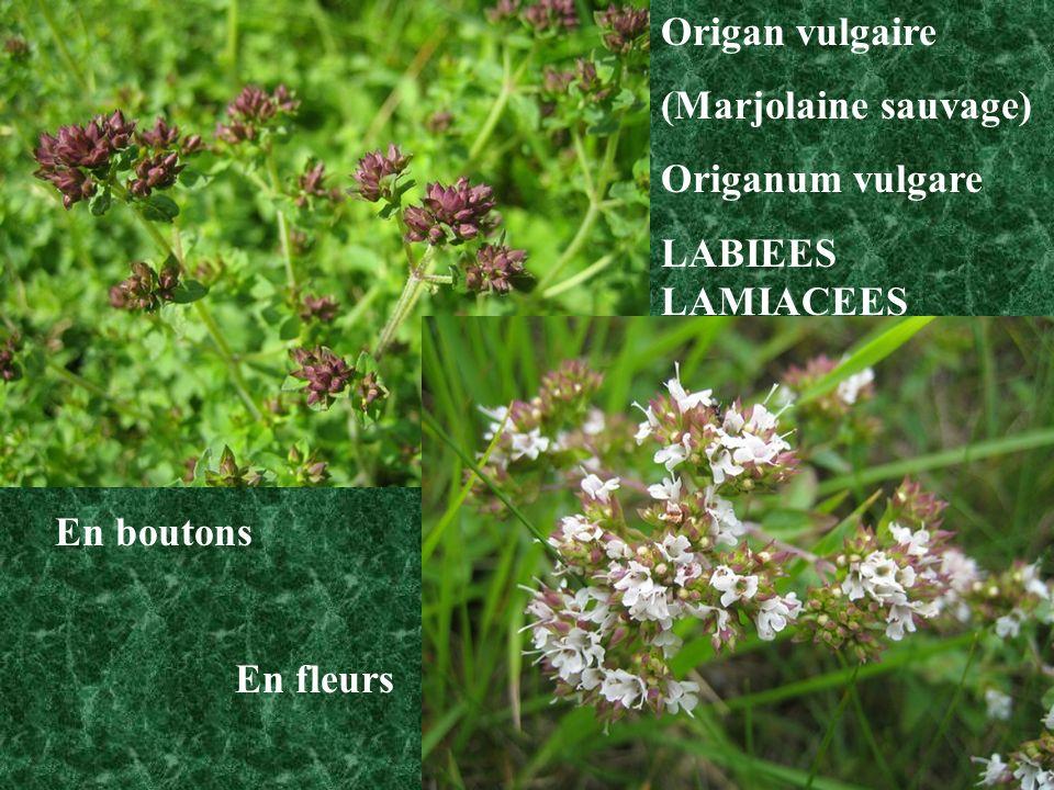 BORRAGINACEES Formule florale (5S) + [(5P) + 5E] + (2C) Vipérine vulgaire Echium vulgare cf.