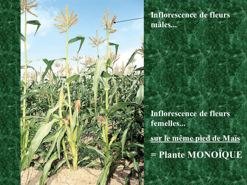 Inflorescence de fleurs mâles... Inflorescence de fleurs femelles... sur le même pied de Maïs = Plante MONOÏQUE