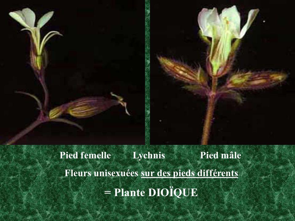 Pied femelle Lychnis Pied mâle Fleurs unisexuées sur des pieds différents = Plante DIOÏQUE
