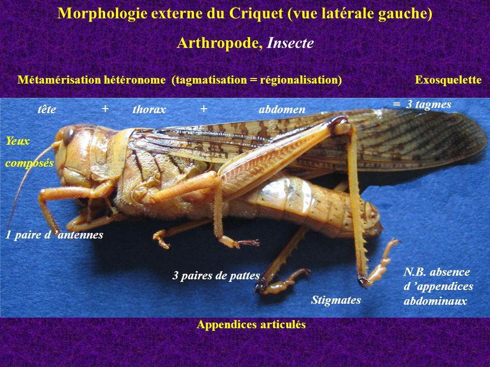 œil composé d ommatidies ocelle suture antenne