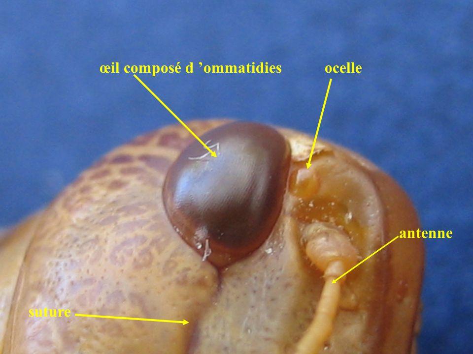 Dimorphisme sexuel au niveau de lextrémité postérieure de l abdomen Sexe femelle Valves anales cerque valves génitales T10 T9 T8 T7 stigmate S8 S7